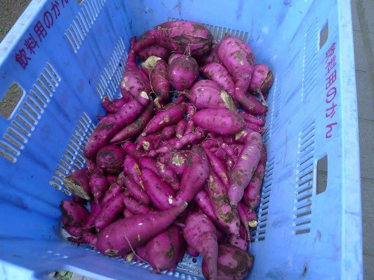 実際に収穫されたサツマイモ