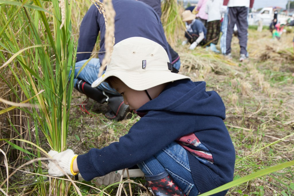 自分の身長くらいある稲を刈る子供
