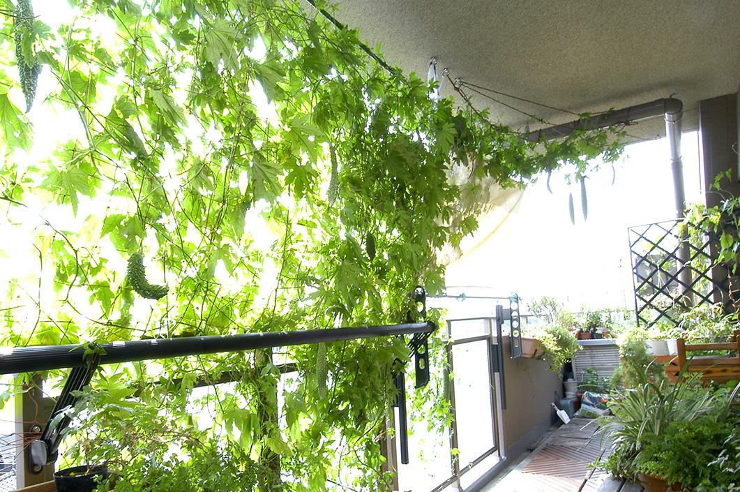バルコニーを彩る緑のカーテン
