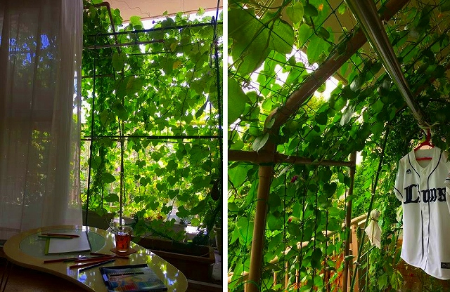 緑のカーテン_01